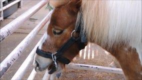 Een Leuk bruin dwergpaard rustend ogenblik in een landbouwbedrijf stock videobeelden