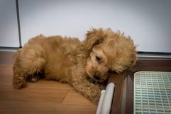 Een leuk bruin puppy in een dierenwinkel in Osaka Stock Foto's