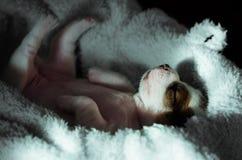 Een leuk de terriërpuppy van hefboomrussell ligt bovenkant - neer op een zachte pluizige witte deken Stock Afbeelding