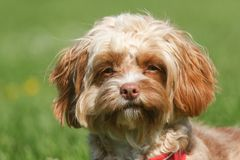 Een leuk die hoofd van een jonge Cavapoo-hond wordt geschoten Het ras wordt ook algemeen bekend door namenpoedel x Koning Charles stock afbeeldingen