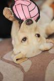 Een leuk gouden puppy van Labrador Stock Foto's