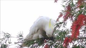 Een Leuk ogenblik van de kaketoevogel op de boom en het eten van Rode flesseborstelbloem in een lentetijd bij een botanische tuin stock footage