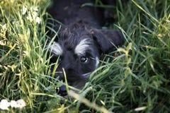 Een leuk puppy ligt in het gras op het gebied Stock Afbeeldingen