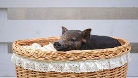 Een leuk varken ligt bij mand stock video