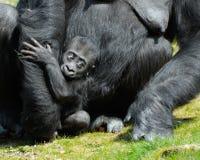 Een leuke babygorilla royalty-vrije stock fotografie