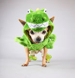 Een leuke chihuahua kleedde zich omhoog in een groene dinosaurus of een hagediscostu Royalty-vrije Stock Fotografie