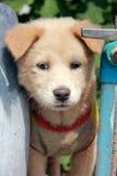 Een leuke close-upfoto van het puppy van Azië Royalty-vrije Stock Foto