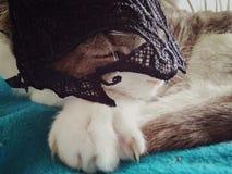 Een leuke grijze en witte kat met grappig masker royalty-vrije stock fotografie