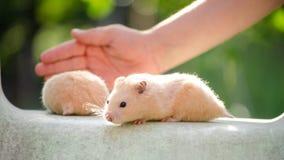 Een leuke hamster in veilige handen royalty-vrije stock foto's