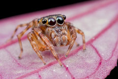 Een leuke het springen spin Stock Afbeelding