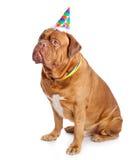 Een leuke hond in een grappige hoed zit royalty-vrije stock fotografie