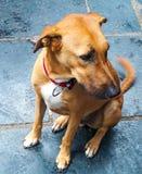 Een leuke hond in Osho ashram, Pune Royalty-vrije Stock Fotografie