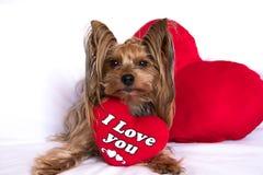 Een leuke hond van de de terriërjongen van Yorkshire van de minnaarvalentijnskaart met een rood hoort Stock Fotografie