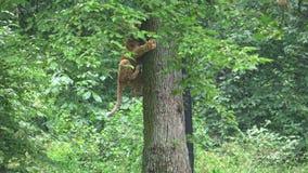 Een leuke jonge leeuwwelp die op een boom beklimmen stock videobeelden