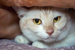 Een leuke kat kijkt uit van onder de dekens Sluit omhoog Stock Afbeeldingen