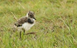 Een leuke Kievit, Vanellus-vanellus die, kuiken naar voedsel in het moerasland zoeken stock afbeeldingen