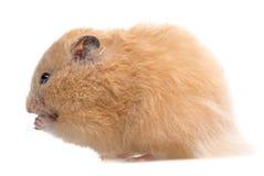 Een leuke kleine hamster Stock Foto