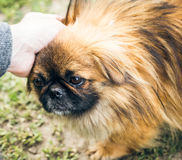 Een leuke pekingese hond Stock Foto's