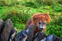 Een leuke poney die van Shetland over kijken obstructie voert royalty-vrije stock foto's