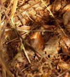 Een leuke veldmuis die van de bladeren piept Royalty-vrije Stock Foto's