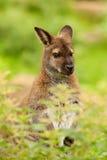Een leuke wallaby Stock Fotografie
