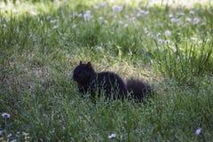 Een leuke zwarte eekhoorn legt in het gras stock fotografie