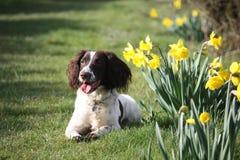 Een lever en een witte het werk type Engelse het huisdierenjachthond die van het aanzetsteenspaniel naast gele narcissen liggen Royalty-vrije Stock Foto's