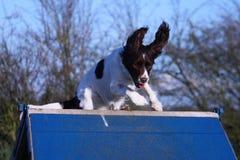 Een lever en een witte het werk type Engelse het huisdierenjachthond die van het aanzetsteenspaniel over een behendigheids a-kade Stock Fotografie