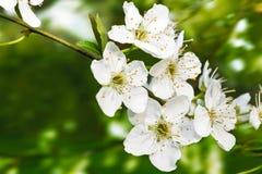 Een lichte tak in bloei Stock Foto
