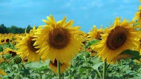 Een lichte wind slingert het gebied van zonnebloemen stock footage