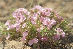 Een lichtrose bloem in een woestijn Stock Foto