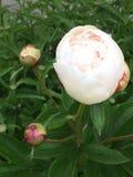 Een lichtrose pioen in de tuin royalty-vrije stock foto's