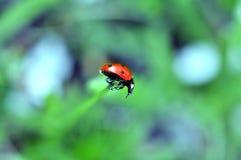 Een lieveheersbeestje in de de lenteversheid Stock Afbeeldingen