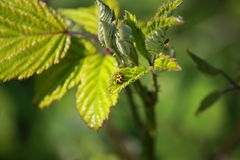 Een lieveheersbeestje (Harmoniaaxyridis) Stock Foto's