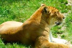 Een liger die op het gras en het rusten liggen Stock Afbeelding