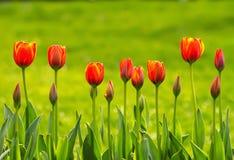 Een Lijn van Gele en Oranje Tulpen Stock Foto
