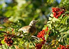 Een lijsterbes en een vogel stock afbeelding