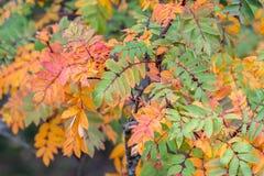 Een lijsterbes van de lijsterbesseninstallatie in mooie de herfstkleuren royalty-vrije stock afbeelding