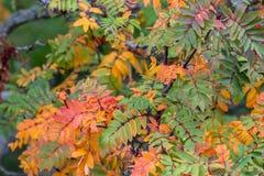 Een lijsterbes van de lijsterbesseninstallatie in mooie de herfstkleuren royalty-vrije stock fotografie