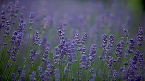 Een lilac gebied van lavendel Stock Afbeeldingen