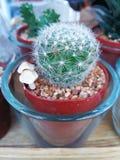 Een lilitlecuctus!! Royalty-vrije Stock Foto's