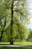 Een linde in een park Royalty-vrije Stock Afbeeldingen