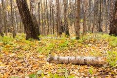 Een logboek van een berk ter plaatse in de herfst, een fabelachtige mening stock foto's
