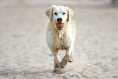 Een lopende hond royalty-vrije stock foto's