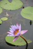 Een lotusbloem Royalty-vrije Stock Afbeelding