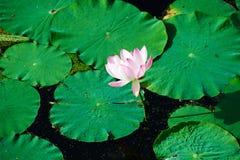 Een lotusbloem Royalty-vrije Stock Foto's