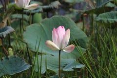 Een lotusbloem royalty-vrije stock afbeeldingen