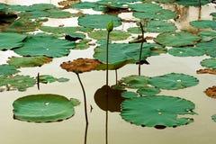 Een lotusbloem en een water herstellen lilly royalty-vrije stock afbeeldingen