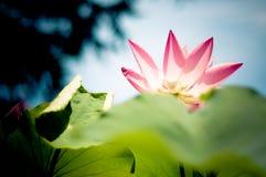 Een lotusbloem in het Museum van de Kunst Qingdao Stock Foto's