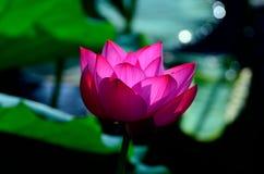 Een lotusbloembloem stock afbeelding